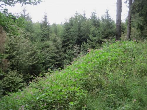"""Erstaunlich / erschreckend - ob auf Hiebflächen oder im hellen """"Borkenkäferwald"""" - das Drüsige Springkraut steht hier bis in höchste Höhen (war das ein Imker!?) und besiedelt Hänge flächenhaft."""