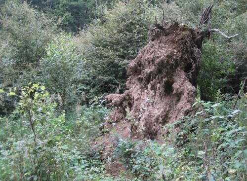 Wurzelteller frisch gestürzter Bäume bieten völlig neuen, lange Zeit hier unbekannten Lebensraum.