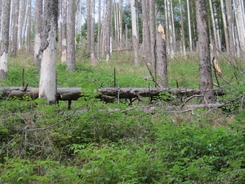 Blick hangaufwärts nach rechts - Borkenkäferfichtenwald wird grün unterwachsen. Es startet wie so oft mit Him- und anderen Beeren. Hummeln, Bienen, Vögel und viele mehr freut`s.