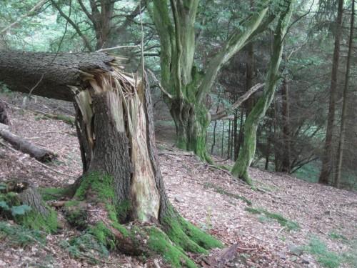 Bruch-Nadelbaum vor alten Hainbuchen.