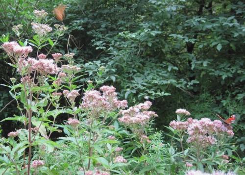 Besonnte Freiflächen locken Schmetterlinge mit Dost. Besonnte Freiflächen locken Schmetterlinge mit Dost.
