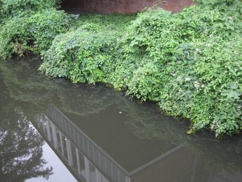 Wo wegen zu dichter Bebauung am Ufer kein Baumstandort möglich ist, bietet Pflanzenüberhang z.B. von Schlingpflanzen auch gute Verstecke.