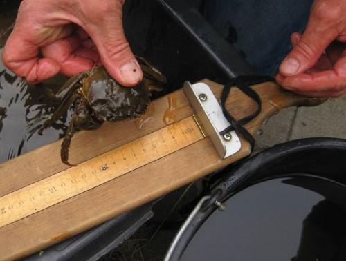 Die größte Wollhandkrabbe - wie sich das für fachliches Arbeiten gehört, wird jeder Fang vermessen.