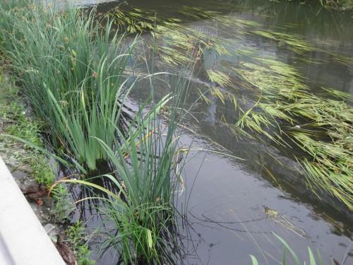 Da volles Licht, und nicht - wie am naturnahen Gewässer Halbschatten - hier regiert, produziert Igelkolben ungeheure Pflanzenmassen. Der früher hier typische Wasserstern ist verschwunden. Erhöhter Aufwand für Gewässerunterhaltung belastet den Steuerzahler.