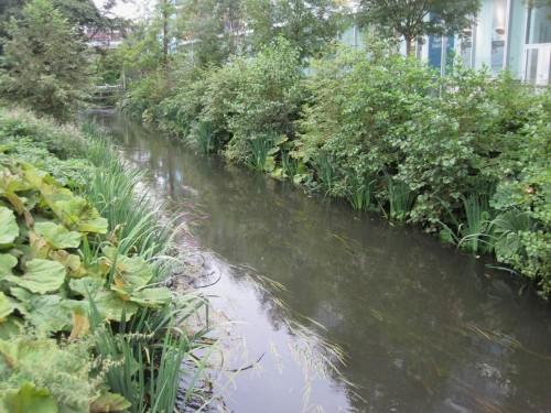 Aufwärts darf (noch?) immerhin selbst aufkommender Erlenbestand das zerstörte Ufer wieder besiedeln.