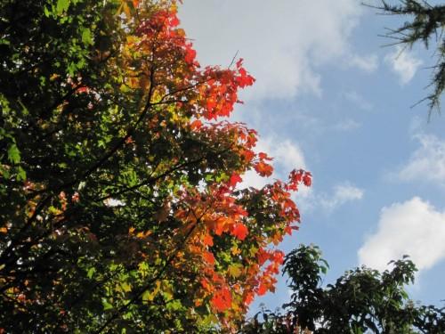 Sehenswert - der Spitzahorn im Garten am Nachmittag.