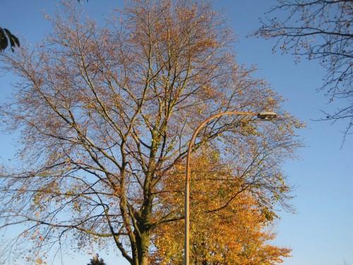 Einige Bäume sind schon kahl - bei uns im Buchenweg neben individuellen Baumreaktionen deutliches Zeichen für in den vergangenen Jahren wieder zunehmendes hirnloses (und verbotenes) Fußweg-Salzen.