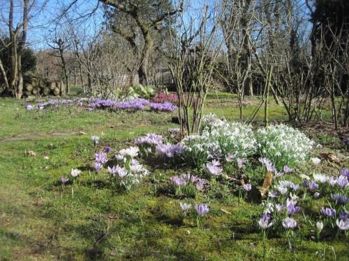 Im wilden Garten begeistern die sich wild vermehrenden, jetzt offen blühenden Frühlingsblumen Bienen und anderes Getier.