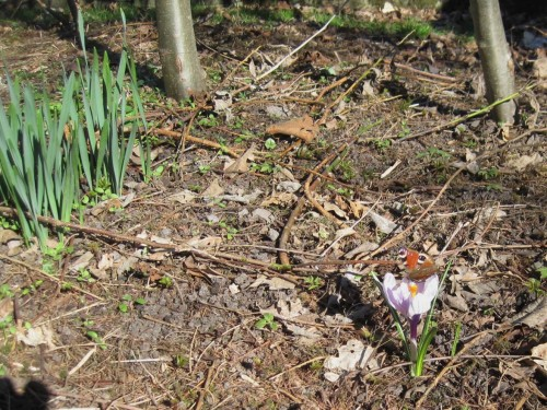 Auch die Schmetterlinge haben ihr Winterquartier verlassen. Das Pfauenauge hat Kleinen Fuchs und Zitronenfalter als Kollegen hier im Garten.
