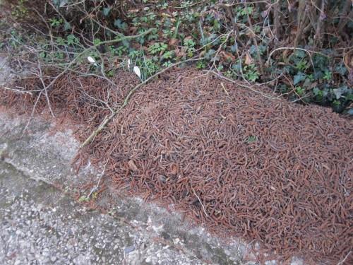 Auch dieser Rest ist bald als Flächenmulch und Bodenverbesserer unter Beerenfruchtbüschen und Obstbäumen genutzt.