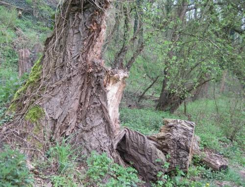 Eine Vielzahl auch alter Bäume findet sich, hier Rindenvielfalt einer Altpappel.
