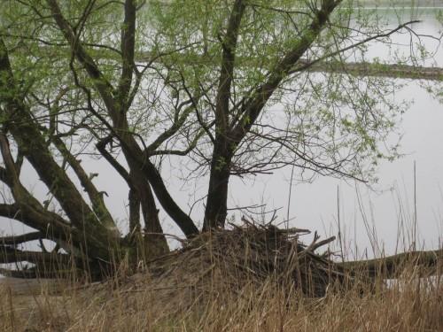 ... ist die Biberburg oft nich fern. Diese liegt direkt vor dem Hangweg seewärts vom Alten Sandkrug im Feuchten.