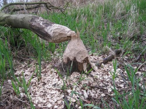 Möge er immer genügend Bäume für seine Ernährung und seine Handwerkskunst finden.