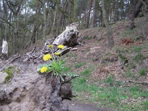 Vorbei am Löwenzahn, der sich die Sturzbaumwurzel vor dem Elbhangweg erobert hat ...