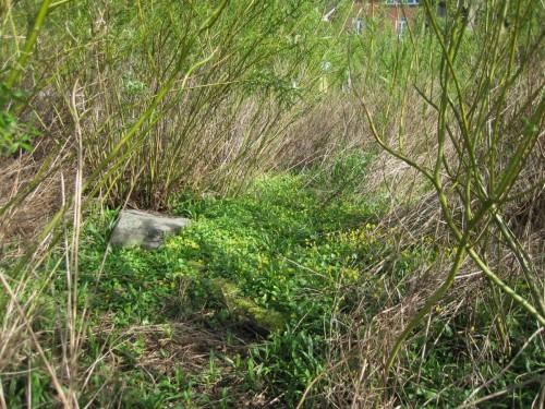 Schon im Kleinen ist der Biber Landschaftsgestalter. Hier hat er einen Weg durch einen Urwald junger Weidenschösslinge geschnitten - Scharbockskraut gibt gelbe Frühlingsfarbe.