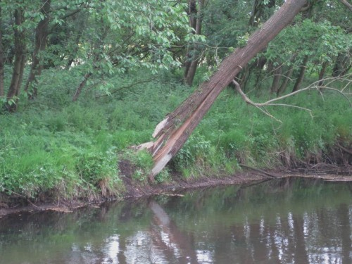 Der Schnitzbaum ist längs gespalten und gebrochen. Da muss sich der Biber wohl ein neues Trainingsobjekt suchen.