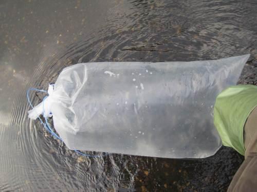 Wichtig für den Transport ans Gewässer: wenig Wasser und viel Sauerstoff gehört in die Transportbeutel. Hier wird die Temperatur an das Besatzgewässer angepasst.