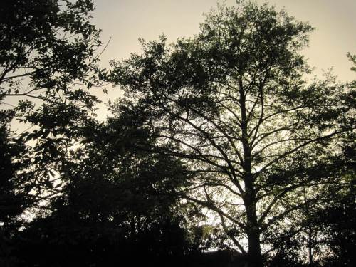 Erle, mein Hausbaum, im abendlichen Gegenlicht.