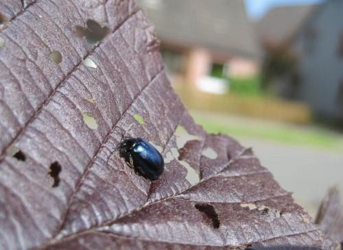 Der blaumetallische Erlenblattkäfer liebt auch andere Weichblätter - hier die rote Haselnuss.
