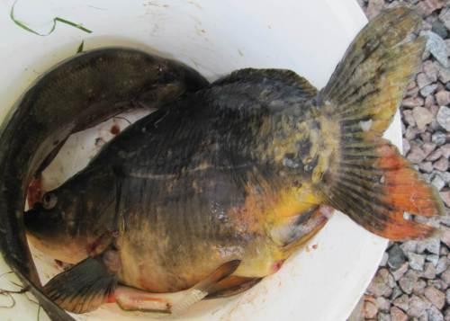 Der Überraschungsfisch des Tages - 2013 war es ein Hecht - ist 2014 ein gut 4pfündiger Karpfen - Petri Heil!