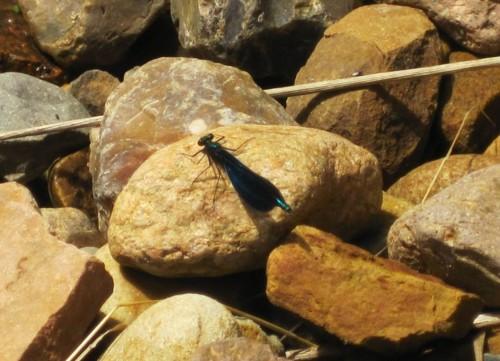 Auch die Prachtlibelle, Männchen von Calopteryx virgo, nimmt ihr Sonnenbad.