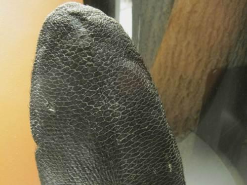 """Hier ist der Beweis - der schuppige Biberschwanz, wegen seiner Form """"Kelle"""" genannt, zeigt doch eindeutig den Fisch (oder nicht?)."""