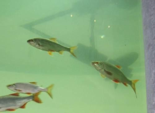 Im Aquarium ist mir diesmal fast ein Foto von Rotaugen gelungen - ich arbeite weiter dran.