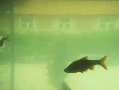 Rotauge im Gegenlicht im algengrünen Wasser - mit Hof und Besucher im Hintergrund.
