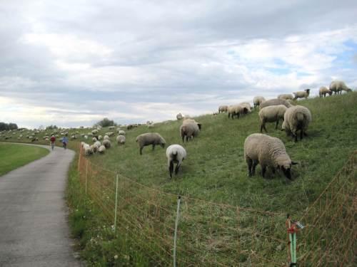 Deichpfleger Schaf.