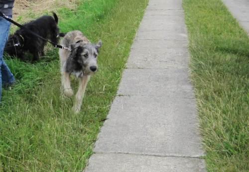 Der halbjährige Irische Wolfshund ist sehr an uns interessiert, der ältere Mischlingskollege findet Spuren im Gras viel interessanter.