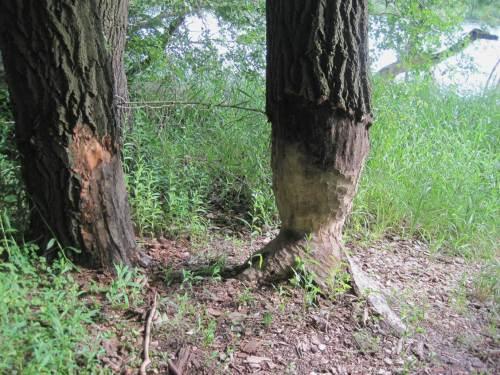 Die meisten geschnittenen Baumreste sind nun von Grün, Schilf und Brennesseln, unsichtbar gemacht. Aber diese Rundumschnitzkunst und einen Starter fand ich direkt am Weg.
