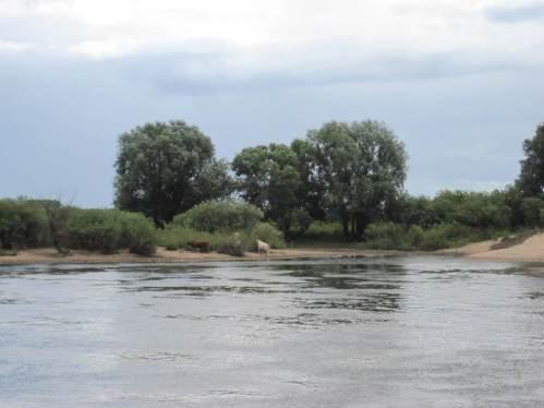 Am niedersächsischen Nordufer sehen wir etwas, das uns nicht gefällt: schweres Großvieh weidet inmitten Röhricht und Auwald, zerstört standorttypische Vegetation und führt zu Ufererosion.