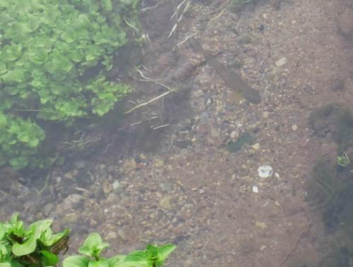 Kein Wunder bei dieser Strukturvielfalt: Forellen stehen in der Strömung und warten auf heran driftende Futtertiere.