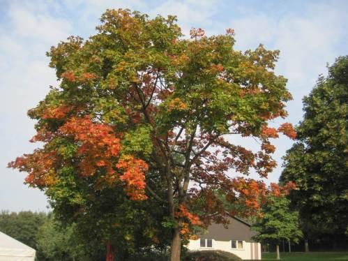Gegen Ende des Urlaubs zeigt Ahorn erste Herbstfärbung.