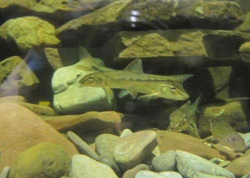 Im ersten Stock sind typische Weserfische in Aquarien zu besichtigen, hier Gründlinge, rechts unscharf ein Kaulbarsch.