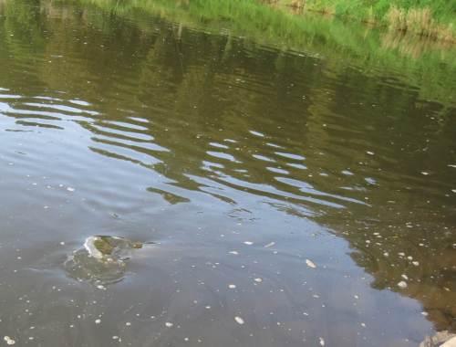 Hin und Her, Turbulenz im Buhnenfeld - ein Fischschwanz.
