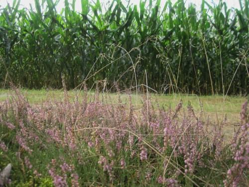 Heideblüte vor Mais - wer fragt, wie das Nitrat ins Grundwasser kommt?