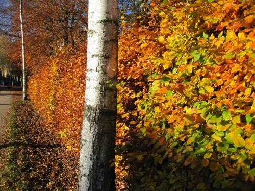 Letzter Pendler-Herbst: Ich geniesse den Fussweg vom Bahnhof - nicht nur an solch prachtvollen Herbstnachmittagen wie diesem. (Ab Juni 2015 bin ich frei buchbar.  :-)  )