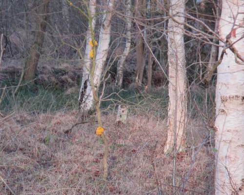 Auf den Rest der Tour leuchtet es plötzlich goldig aus dem Birkenbruchwald. Das werde ich mir näher ansehen.