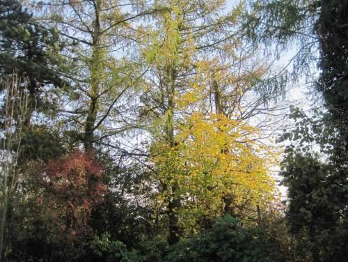 Herbstaspekt - der stehende tote Lärchenstamm ist hinter dem ihn umfangenden gelben Ahorn zu erkennen.