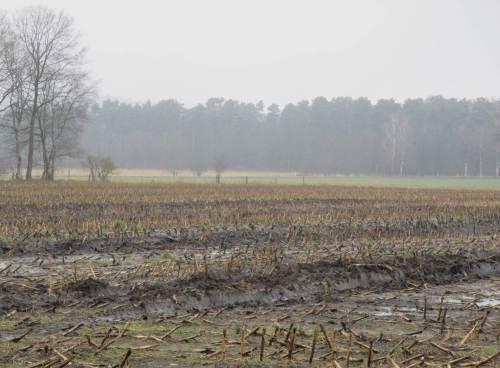 Aber was ist das: Spuren im Mais, Boden verquetscht!