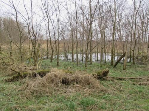 In der Aue hat sich inzwischen Beeindruckendes entwickelt. Abhängig von den Standortbedingungen zeigen die Bäume ihre Reaktion - hier eine Gruppe Flatterulmen an einem zeitweise überstauten Standort.
