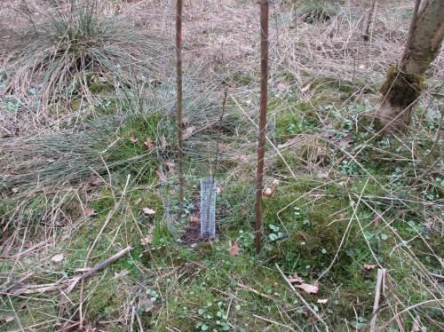 """Zum artenreichen Auwald-Mix gehört seit Jüngstem auch der Wildapfel. Wildverbiss erfordert in den ersten Jahren Verbissschutz. Das kleine Drahtnetz hindert speziell Mäuse daran, den kleinen Baumstamm an seinem Fuß """"zu ringeln"""" und durch diesen Rindenverlust absterben zu lassen."""