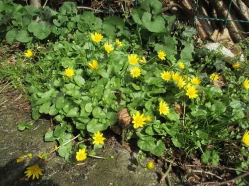 Es lässt sich nicht länger verbergen - der Frühling zieht ins Land. Scharbockskraut blüht seit einigen Tagen flächig im Garten.