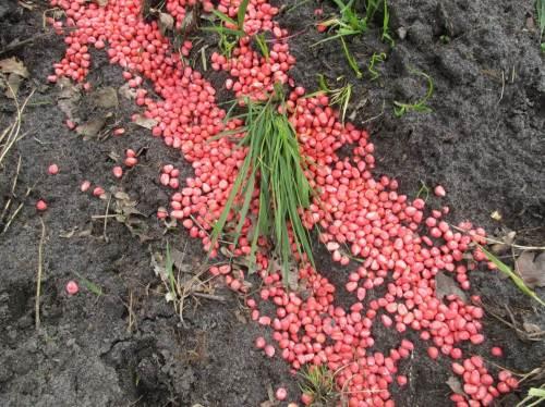 Uuuups, roter Mais, wohl aus Saatschutzgründen gut giftbeladen. Fast könnte man meinen, hier ist für Vögel und körnerfressende Säuger ein Vergiftungs-Depot angelegt worden.