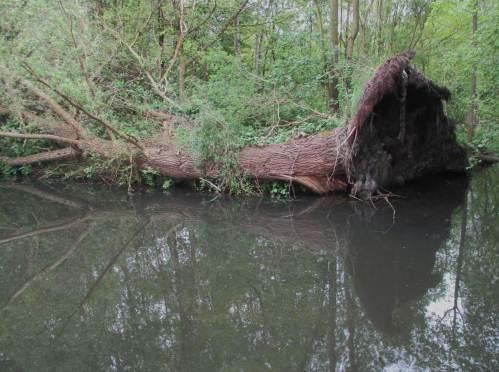 Eine uralte, gestürzte Weide liegt uferparallel.