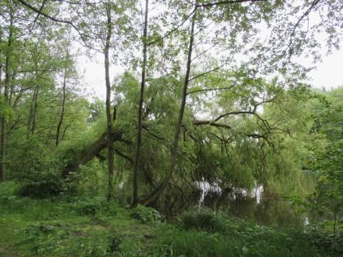 Am Schönsten fanden wir den Parkbereich westlich der Wilhelmsburger Reichstraße. Warum? Hier wurde weniger gewachsener Baum- und Buschbestand vernichtet, es gibt viel mehr natürlich Gewachsenes zu bestaunen als diese Sturzweide am Brack.