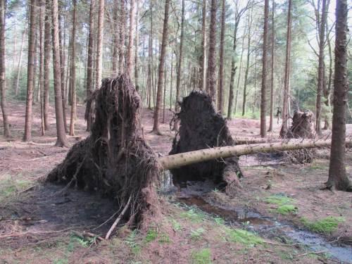 """""""Sach ma` """"Windwurfwurzkörper""""!"""" - In den USA und anderswo gern beim Gewässerrestaurieren genutzt: ganze Sturzbäume mit Wurzelballen."""