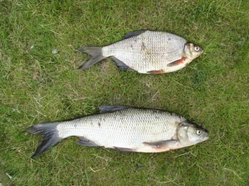 """Bei diesen beiden gingen die Meinungen auseinander. Nach zunächst """"Brassen und Aland"""" ging es später Richtung """"Güster und Rapfen"""" - ja, es ist manchmal nicht einfach mit den """"Weißfischen""""."""