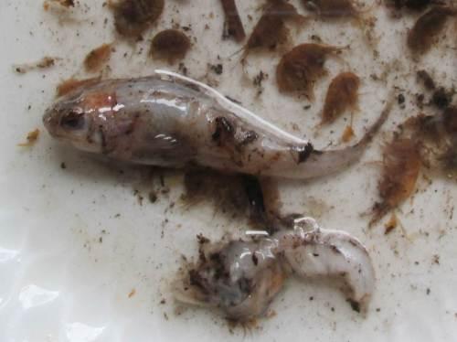 Kein Wunder, dass der Barsch rund war - mindestens ein kleiner Fisch, ein Barsch oder vielleicht eine Mühlkoppe? Vielleicht ein schon weitgehend verdauter zweiter Fisch?